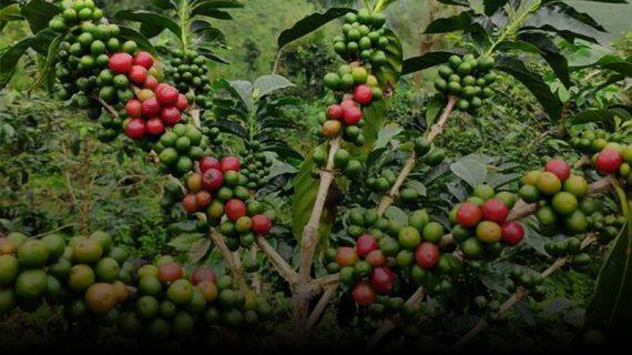Hal Unik Terkait Kopi Pagar Alam Palembang